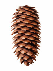 Pine tree cone isolated