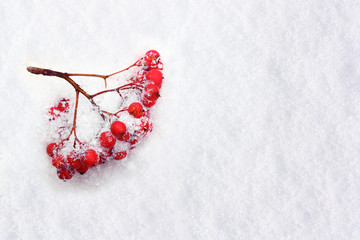 Rowanberry twig on white background