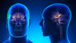 Leinwandbild Motiv Male Hippocampus Brain Anatomy - blue concept