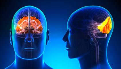 Male Occipital Lobe Brain Anatomy - blue concept