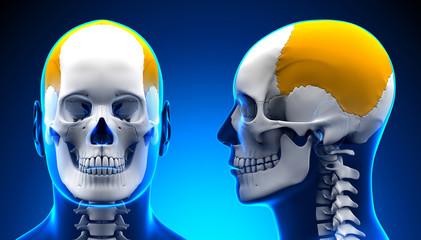 Male Parietal Bone Skull Anatomy - blue concept