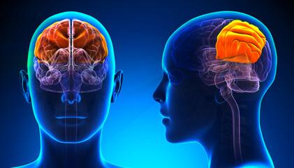Female Parietal Lobe Brain Anatomy - blue concept