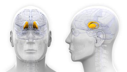 Male Thalamus Brain Anatomy - isolated on white