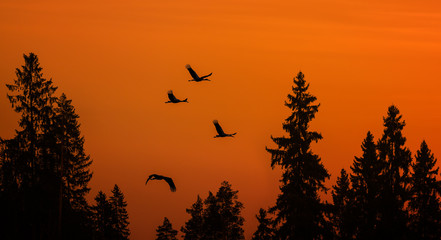 cranes over forest