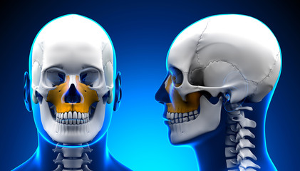 Male Maxilla Bone Skull Anatomy - blue concept