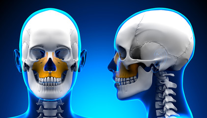 Female Maxilla Bone Skull Anatomy - blue concept