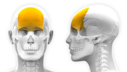 Female Frontal Bone Skull Anatomy - isolated on white