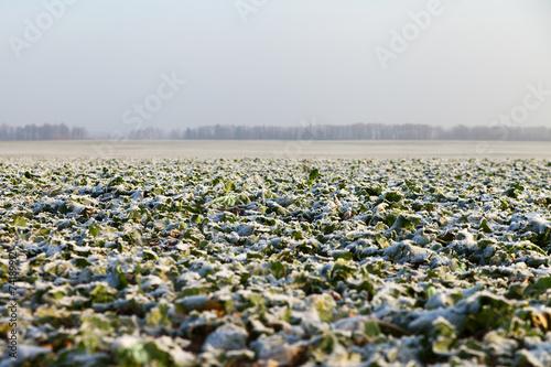 Canola field in early winter. - 74189912