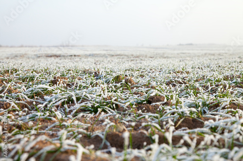 Early winter in wheat field. - 74189933