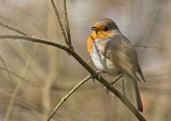 European robin on tree