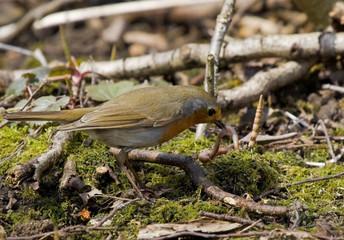 European robin eating a worm