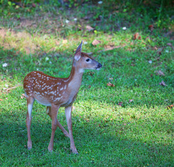 Lost fawn