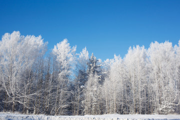 frosted trees on sky background