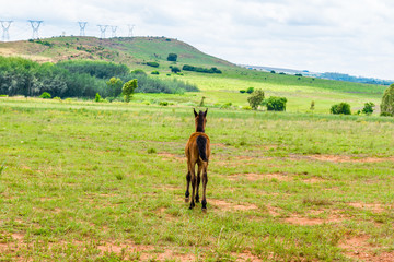 Foal,  South Africa. November 2014