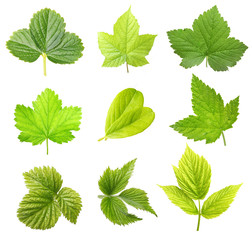 Set of berry leaves isolated
