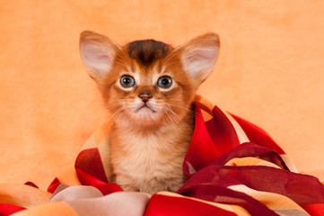 Cute  kitten with big ears
