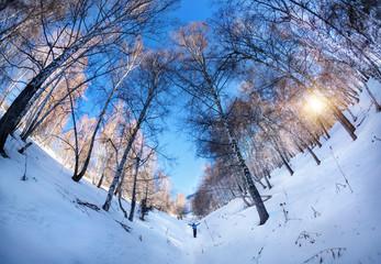 Tourist in winter birchwood