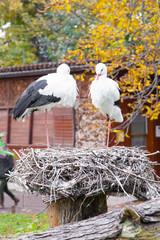Two White storks at the nest