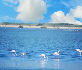 group of pink flamingos in Sardinia