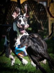 Dogge jagt Galgo