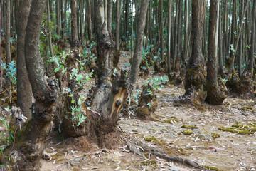 Eucalyptus forest in Ethiopia