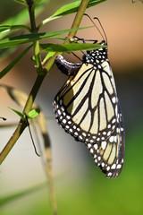 Mariposa monarca poniendo huevos . La Orotava