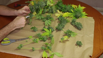Trimming and manicuring harvested marijuana buds