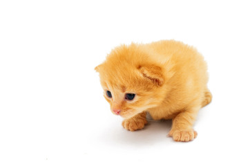 small red kitten, isolated on white
