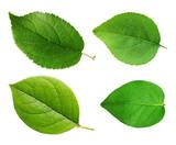 Apple leaves isolated