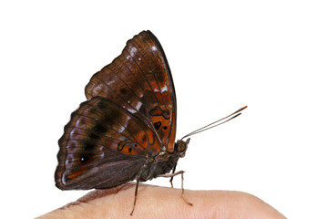 Male of siamese black price butterfly