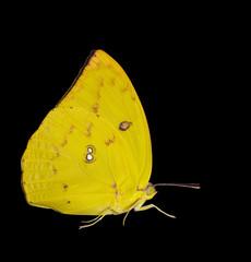 Female Lemon emigrant butterfly