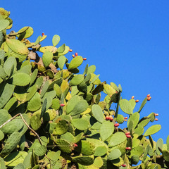 Prickly pears on a sunny day