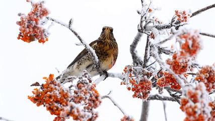 Thrush eats rowanberry in winter