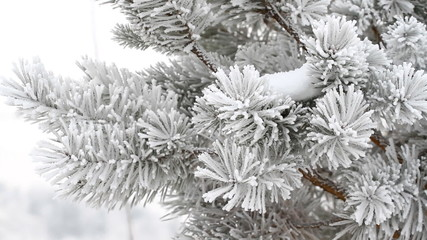 Fir-tree is covered by ice in winter