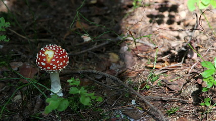 Amanita muscaria. mushroom in the forest