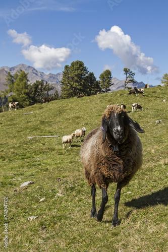 Foto op Canvas Schapen Schaf in Tirol