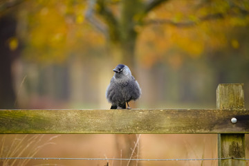 jackdaw perched on a fence