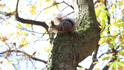 red squirrel in a city park