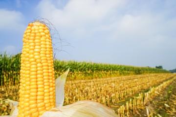 Goldgelber Maiskolben vor teilweise  abgeerntetem Maisfeld