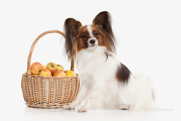 Dog. Papillon puppy on a white background