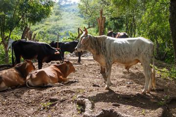 white bull from nicaraguan farm