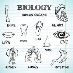 human organs in sketches style set. Vector illustration backgrou