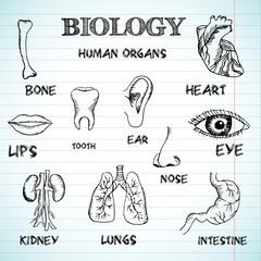human organs in sketches style set. Vector illustration backgrou