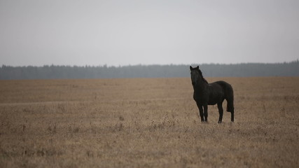 Lonely wounded black horse in an autumn field.
