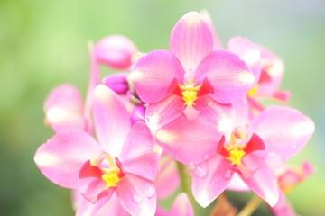 Pink Spathoglottis plant