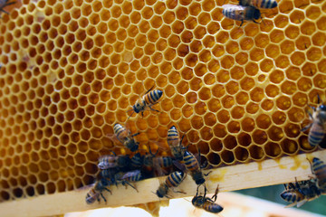 Honey Bees in their Hives