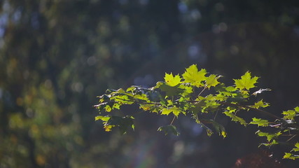 Green maple leaves at sunset