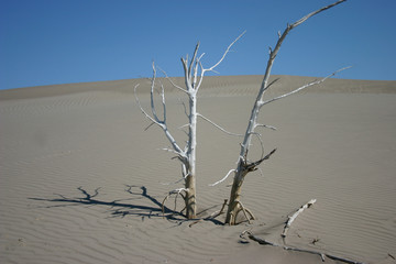 Dead tree in the sand at St Anthony Idaho