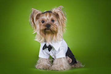 little puppy in a suit isolated on a green background