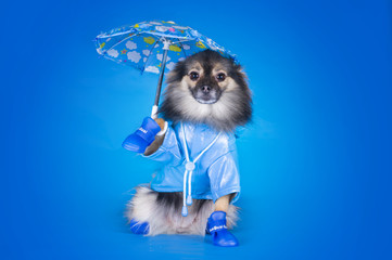 Pomeranian in a raincoat with umbrella isolated on a blue backgr